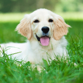 Artificial turf for dogs is safe and drains waste quickly through the turf backing.